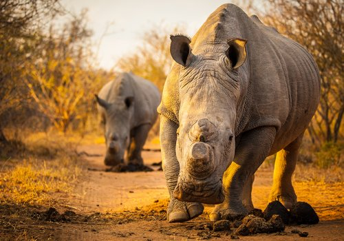 80 rhinos headed for Australia in bold move to save species