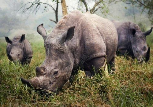 Breeding rhinos heading to South Australia — eventually