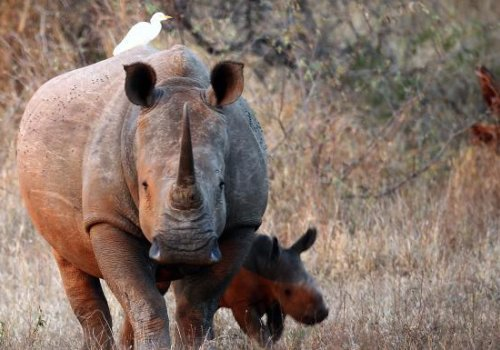 Airlift to Australia offers hope for rhinos