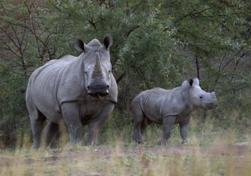 80 African Rhinos May Fly To Australian To Escape Poachers