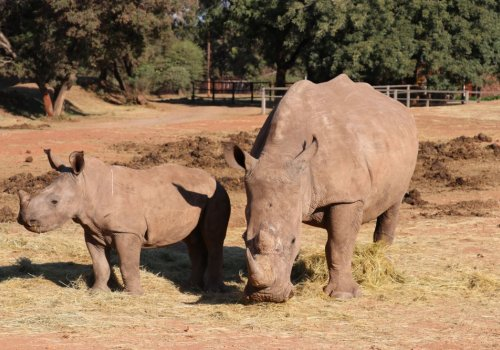 The Australian Rhino Project Achieves Major Milestone