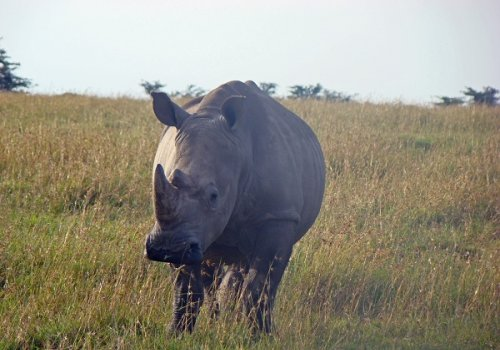 A Radical Plan to Save African Rhinos